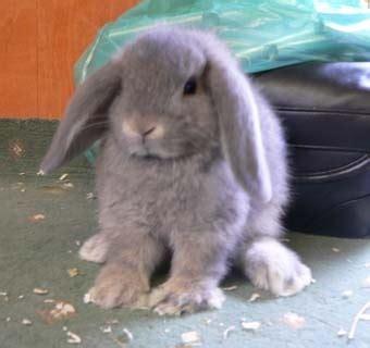 mini lop bunnies  sale  bar harbor  rabbits