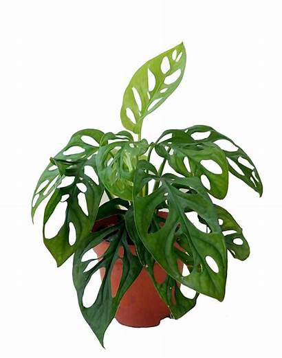 Monstera Plant Cheese