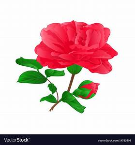 Fower Camellia Japonica With Buds Vintage Hand Vector Image