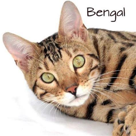 bildergalerie die  beliebtesten katzenrassen mit