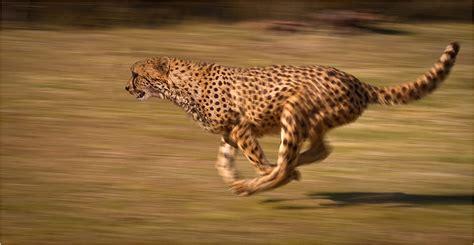 indias cheetahs  shot   maharajah