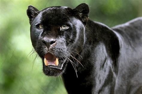 Black Panther Animal Wallpaper - black panther hd wallpaper and background image