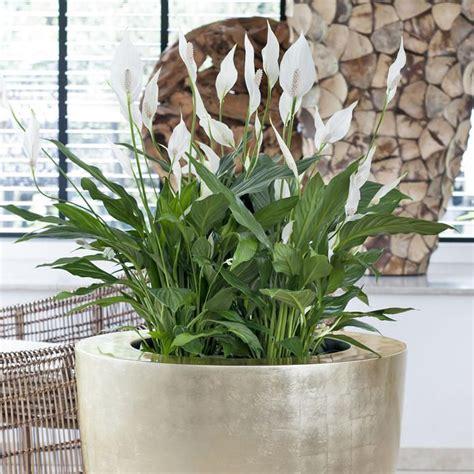 Zimmerpflanze Einblatt Haltung Pflege by Einblatt Garten Einblatt Zimmerpflanzen Und Pflanzen