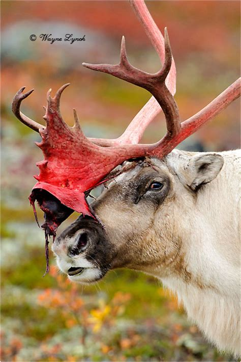 deer shedding velvet bleeding dr wayne lynch canada s wildlife specialist