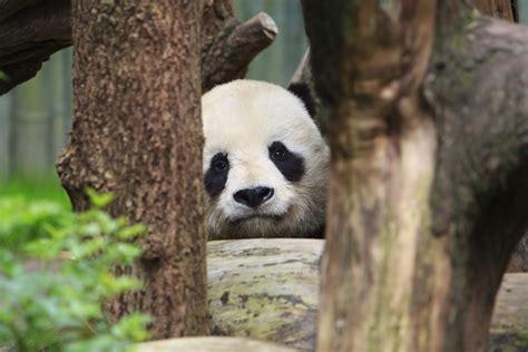 Panda Bear Bear Legend