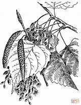 Coloring Cottonwood Leaves Eastern Pages Tree Printable Supercoloring Drawing Simple Sycamore Paper Template Puzzle Templates sketch template