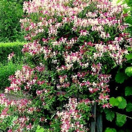 Kletterpflanzen Winterhart Blühend Mehrjährig