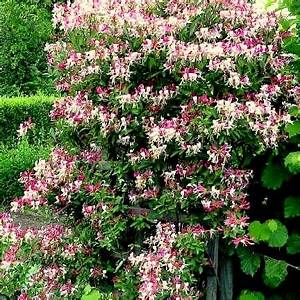 Rankpflanzen Winterhart Immergrün : bathroom 4 decor kletterpflanzen winterhart ~ A.2002-acura-tl-radio.info Haus und Dekorationen