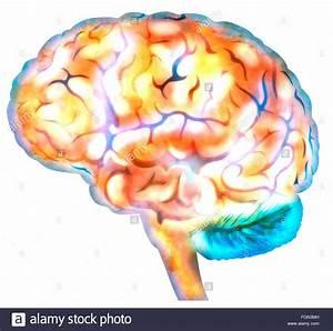 Brain Diagram Synapse