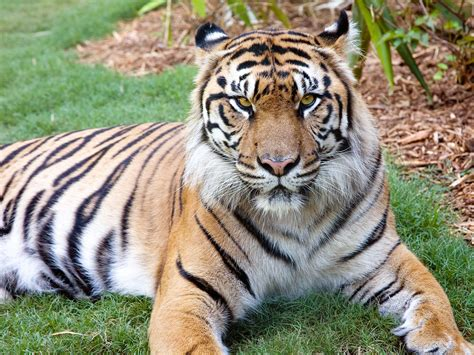 Sumatran Tiger  Zoo Atlanta. Notes Template For Word Template. Newspaper Layout Template. Baby Shower Messages For Baby. Sample Resume With Reference Template. Attractive Resume Templates Free Download. My Family History Essay Template. Newspaper Layout For Kids Template. Sample Of C V Cover Letter Format