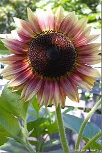 Pink Sunflower! Outside Pinterest