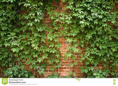Red Old Brick Wall With Climbing Plants Stock Photo