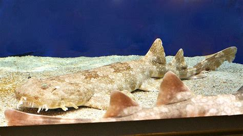 top  facts  wobbegong sharks  learning