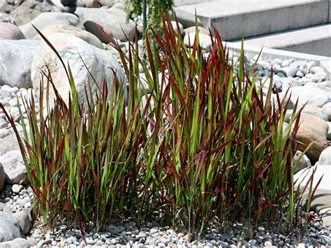 Rotes Ziergras Winterhart by Japanisches Blutgras Imperata Cylindrica Baron