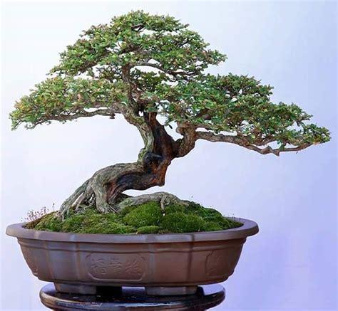 bonsai arten indoor alemeyn adlı kullanıcının bonsai tree panosundaki pin bonsai bonsai baum ve baum