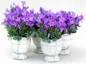 campanule planter et entretenir ooreka With photos terrasses et jardins 6 pensee planter et entretenir ooreka