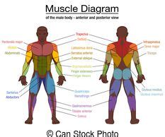 Attached to the bones of the skeletal system are about 700 named. Muscles german names chart muscular male body. Muscle chart with german description of the most ...