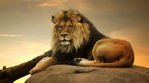 Male Lion 4k Resolution Desktop Wallpaper Hd Background