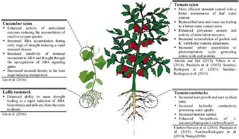 Frontiers  Vegetable Grafting As A Tool To Improve