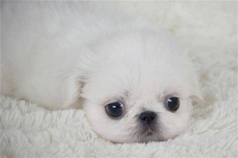 rare white pekingese puppy pekingese puppies pekingese
