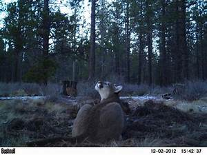 A mountain lion feeding on a deer carcass in the mountains ...
