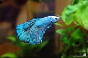 Aquarium Fische Süßwasser Liste : kampffisch der heute neu eingezogen ist jetzt richtig erwischt und originalgetreu die farben ~ Watch28wear.com Haus und Dekorationen