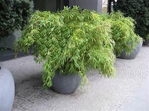 Bambus Im Garten : fargesia murielae garten bambus bambus und pflanzenshop ~ Michelbontemps.com Haus und Dekorationen