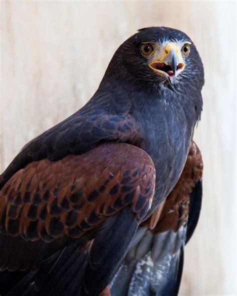 85 best birds of prey images on pinterest birds of prey