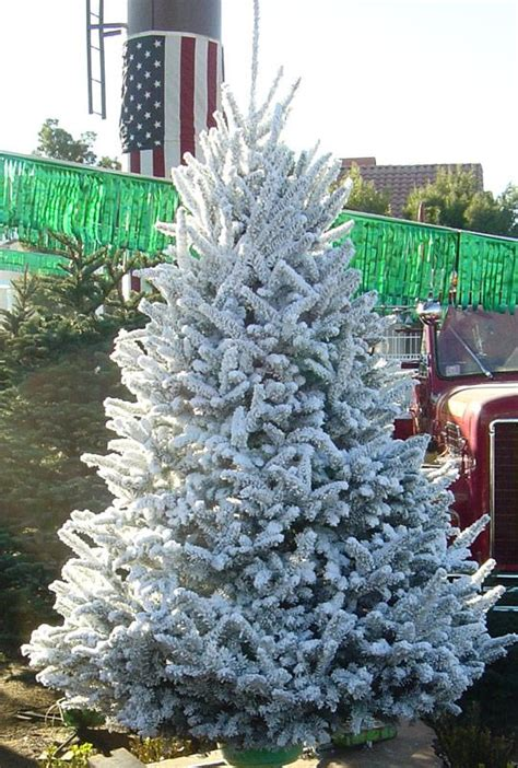 deerbrooke farm photo gallery premium christmas tree lot  las vegas nevada