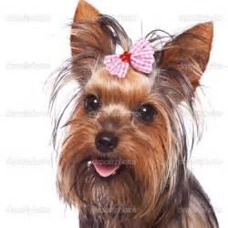 Cute Dog Yorkie Yorkshire Terrier