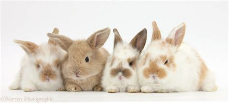 cute baby rabbits photo wp pictures  bunny
