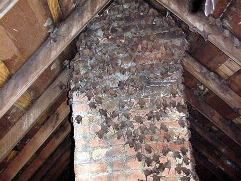 How Tell You Have Bat Infestation Your Home