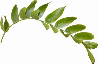 Leaf Branch Leaves Clipart Leafs Clip Daun