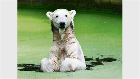 Zoo Berlin Eisbär Gianna Ist Jetzt In Der Pubärtät