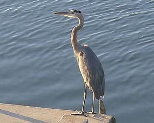 Notes From The Outside: Great Blue Heron