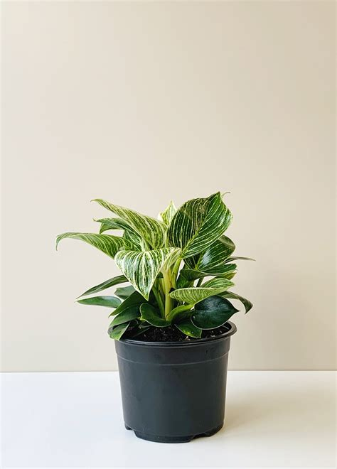 Philodendron selloum - Birkin | The Plant Project | Indoor ...