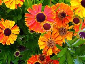 a great ornamental plant with sneezeweed your garden blooms all summer interior design
