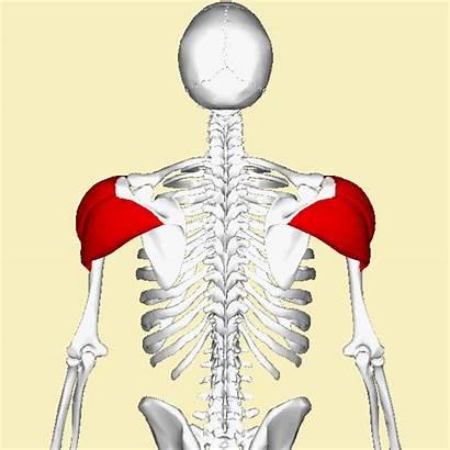 Deltoid Muscle Animation2 Wikimedia Spalla Arm Commons