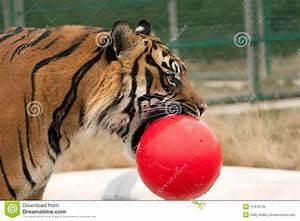 Tiger With Ball In His Mouth Royalty Free Stock Photo ...