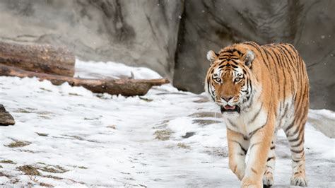 Hd Wallpapers Animals Tigers - wallpaper siberian tiger amur tiger hd animals 5475