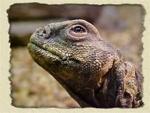 The U002639lizards That Look Like Dinosaursu002639 Thread Reptile