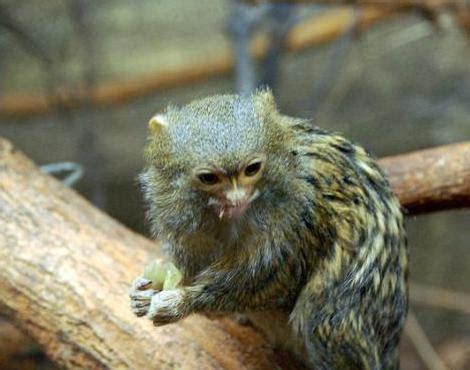 pygmy marmoset callithrix pygmaea animals   animals