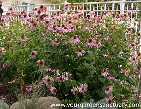 growing echinacea in pots planting cheaper perennials
