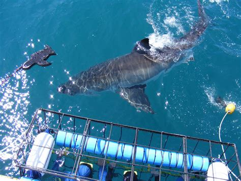 Hout Bay South Africa Boat Attack 2013 by Grote Witte Haai Kooi Duiken Bokbus Tours