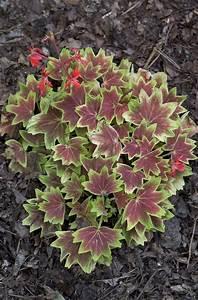 pelargonium 39 vancouver centennial 39 geranium ebert 39 s