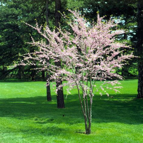 The Best Flowering Trees And Shrubs Better Homes And Gardens