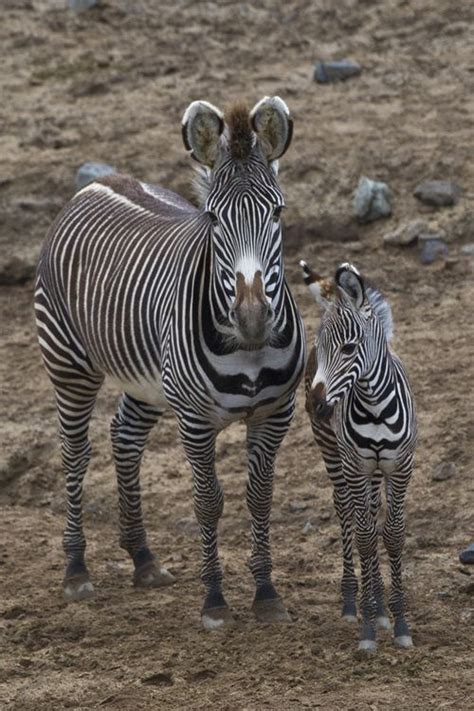 zebras related horses zebra wild animals african