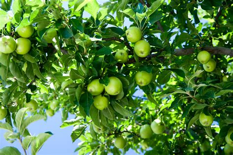 Plant profile: Pond Apple - Captain Mitch's * Everglades ...