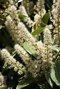 Kirschlorbeer Braune Blätter : kirschlorbeer hat braune blattr nder woran liegt 39 s ~ Lizthompson.info Haus und Dekorationen