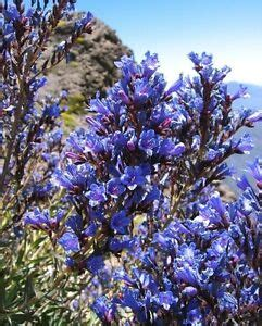 The Lord Of Blue Sky echium gentianoides lord of blue sky blue
